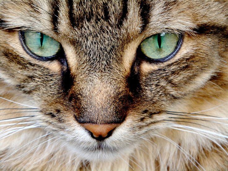Tränende Augen bei Katzen – mögliche Ursachen und Behandlung