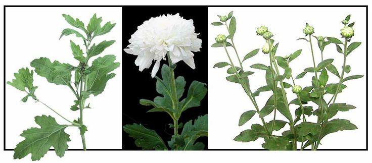 Manzanilla / Chrysanthemum indicum / WINTER ASTER : Philippine Medicinal Herbs / Philippine Alternative Medicine