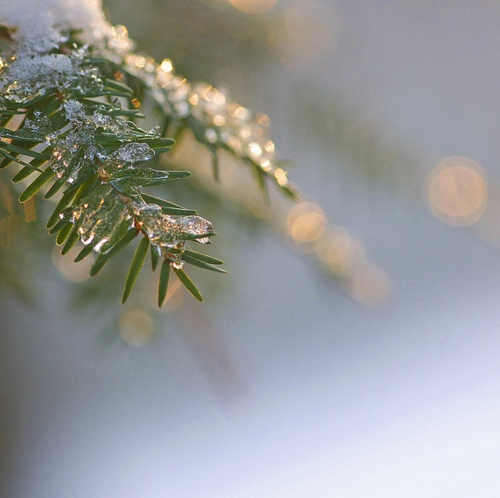 Branche de sapin sous la neige // Fir branch under the snow