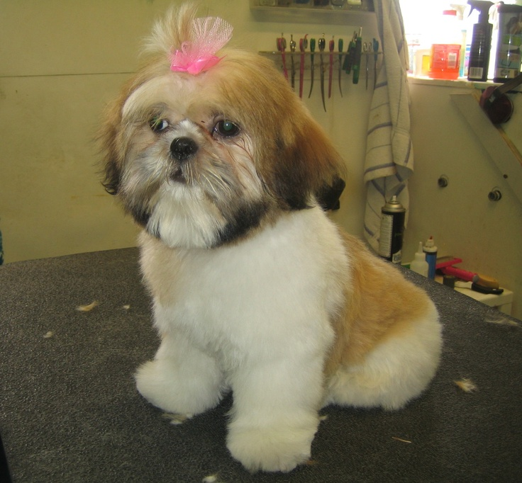 Shih Tzu Teddy Bear Haircut