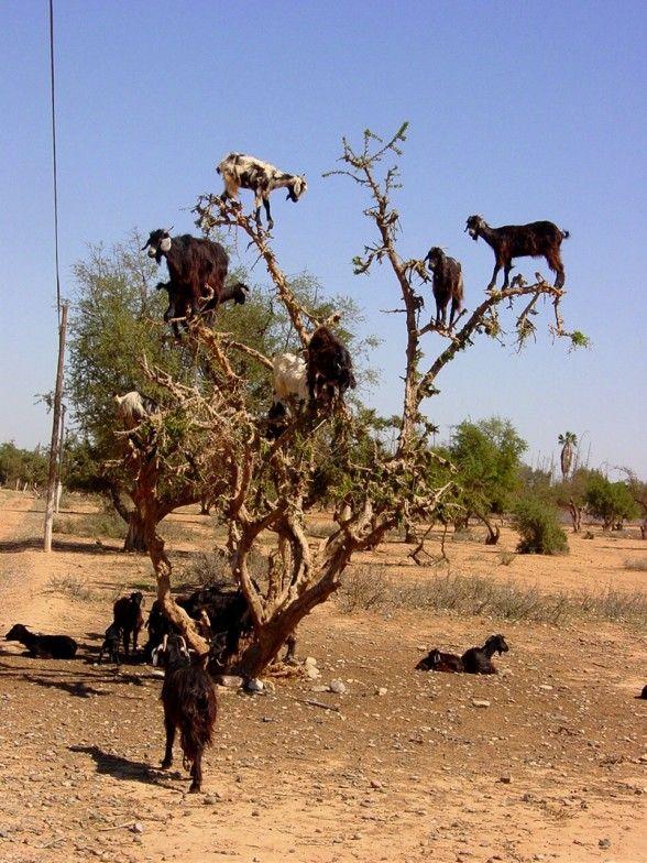 goats!: Funny Things, Animal Stuff, Funny Goats, Climbing Trees, Climbing Goats, Farms Animal, So Funny, Goats Trees, Goats Farms