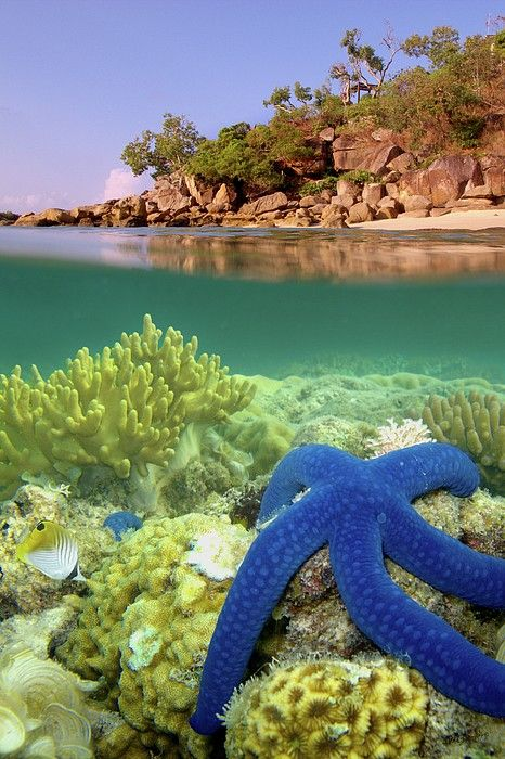 Blue Starfish, Lizard Island, Great Barrier Reef. The reef is located in the Coral Sea, off the coast of Queensland, Australia.