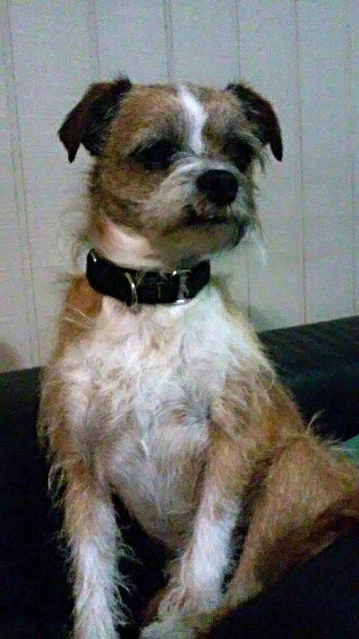 Benji is a threeyearold 16 lb pound terrier mix with