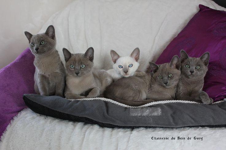 8 best chat tonkinois du bois de gury tonkinese cats images on pinterest tonkinese cat - Chaton tonkinois ...