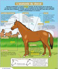 L'anatomie du cheval - Mon Quotidien, le seul site d'information quotidienne pour les 10-14 ans !