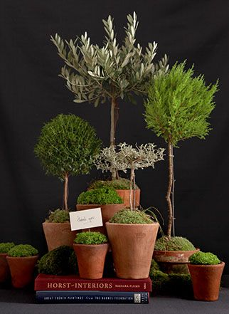 Topiary Topiaries :: Indoor Garden ~ Olive tree, Rosemary, etc...