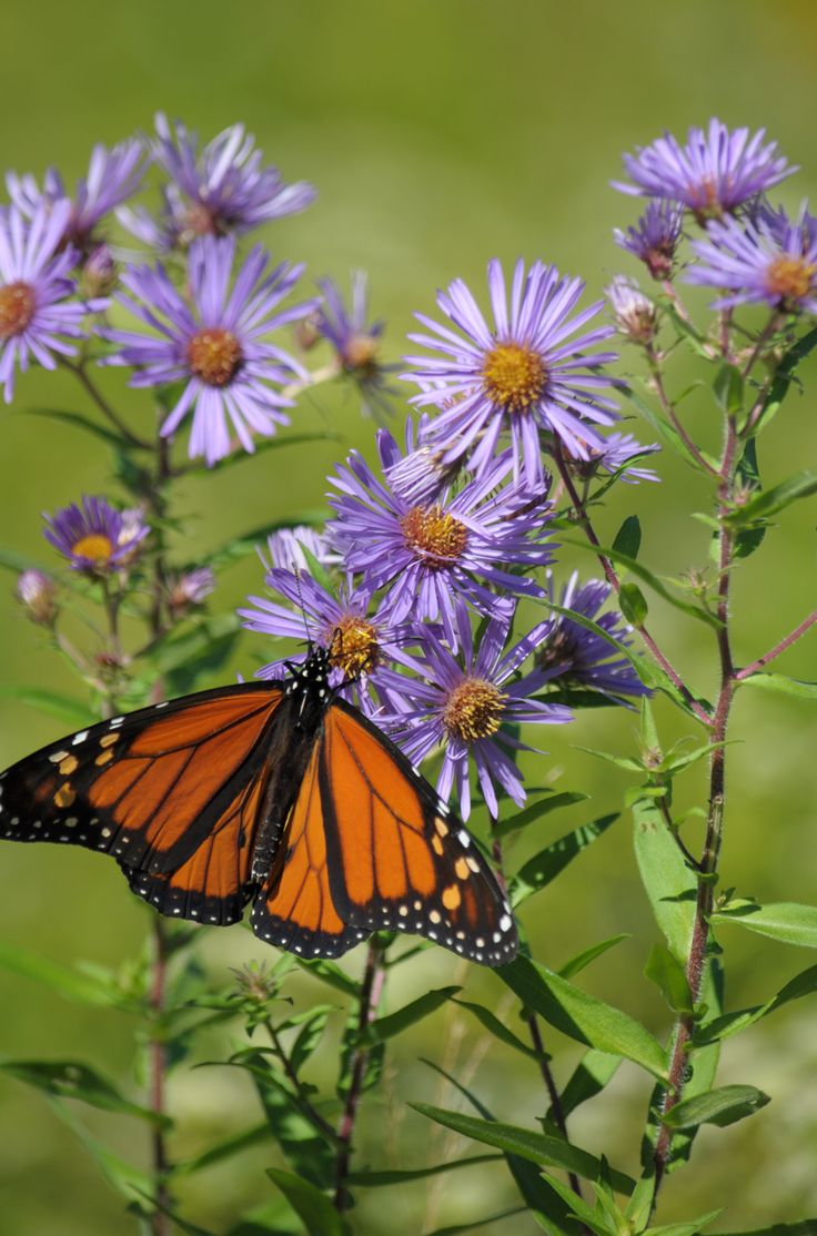 17 Best Native Illinois Plants For Shady Yards Images On