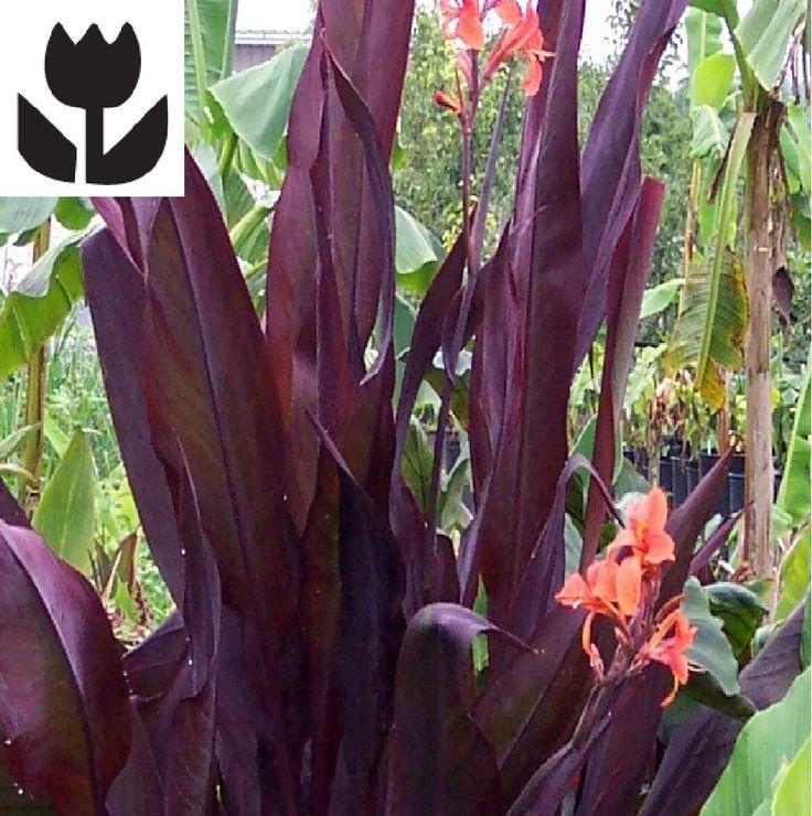 "Canna lily ""Intrigue"" live plant Cannaceae $6.99 - Rain Garden"