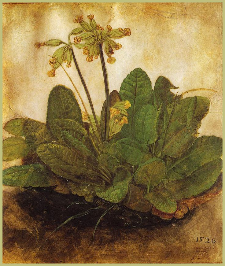 This illustration of a primula plant was by Albrecht Durer. He was one of my favorite artist growing up.  Albrecht Dürer (1471–1528) was born in the Franconian city of Nuremberg.  He was a brilliant painter, draftsman, and writer, though his first and probably greatest artistic impact was in the medium of printmaking. He  revolutionized printmaking, elevating it to the level of an independent art form. He expanded its tonal and dramatic range.