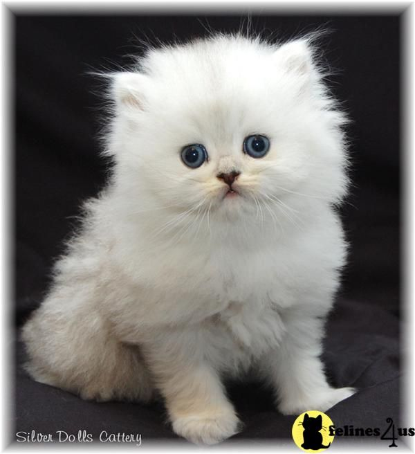 White persian kittens for sale vancouver bc