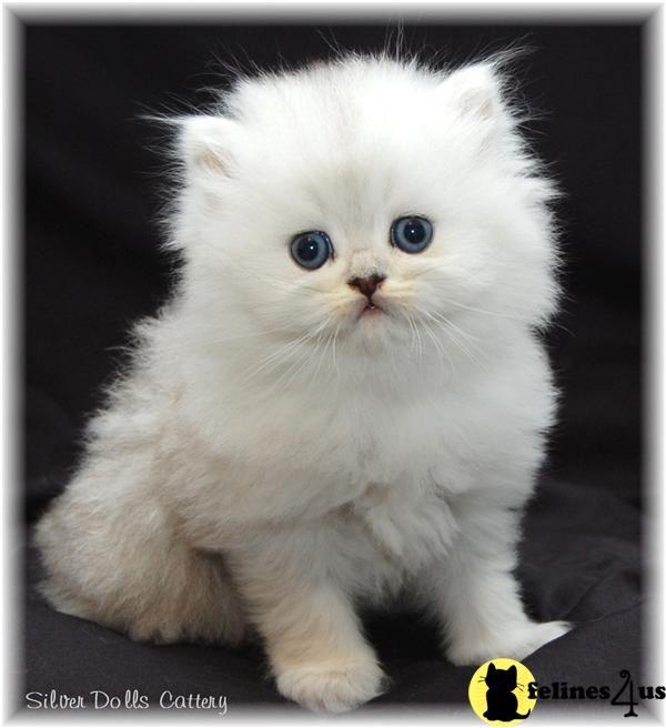Teacup Persian Cats Amazing Teacup Persian Kittens