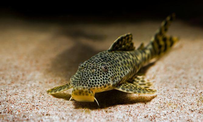Plecostomus o pez gato