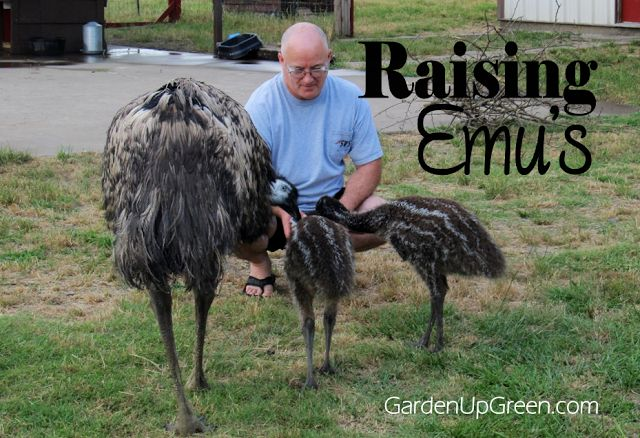 Raising Emus.  Have you ever wondered what these birds are like?  They're simply amaizng and did you know they make great guard birds. -Garden Up Green