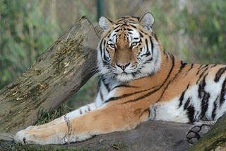 Sibirischer Tiger Laila im Dierenrijk in Mierlo | Flickr