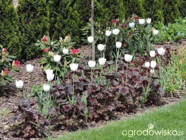 Zielonej ogrodniczki marzenie o zielonym ogrodzie - strona 688 - Forum ogrodnicze - Ogrodowisko