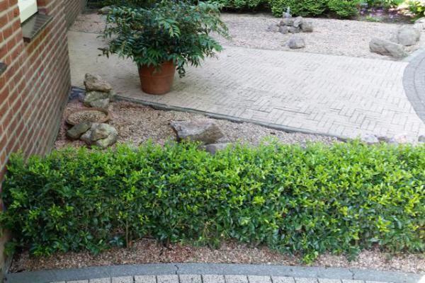 Ilex maximowicziana 'Kanehirae' - Le houx ou houx crénelé - Plantes à feuillage persistant    L'Ilex maximowicziana 'Kanehirae' (Ilex maximowicziana 'Kanehirae') est un arbuste à petites feuilles persistantes, idéal comme plante de haie.