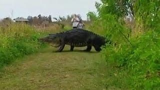 Massive Alligator Shocks Tourists As He Nonchalantly Strolls By On Walking Path