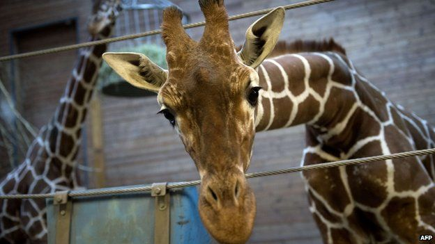 BBC News - 'Surplus' young giraffe unjustifiably and coldly executed at Copenhagen Zoo.  Farewell Marius.  You will not be forgotten.