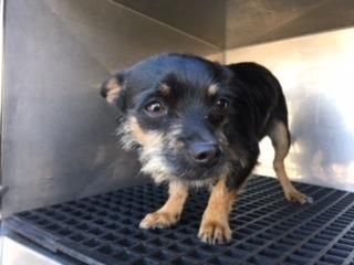 ☠️ Killed - never had a chance .Poor little guy is looking death in the eye. The humans that had him didn't care that he would be killed. In a few more days the Death Techs in El Paso will kill this little dog , to make space for another dog discarded as American trash.
