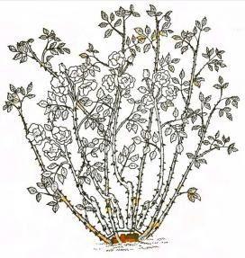 Обрезка роз. часть 8. Почвопокровные розы.: Группа Цветы и флористика