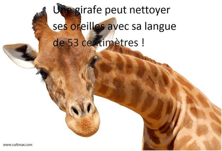 culture générale . girafe