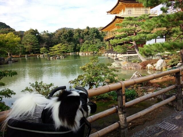 『美しき日本』・・に生まれて・・・幸せだにゃわん 狆ラブ☆ルル&タケル幸せだにゃ~わん☆