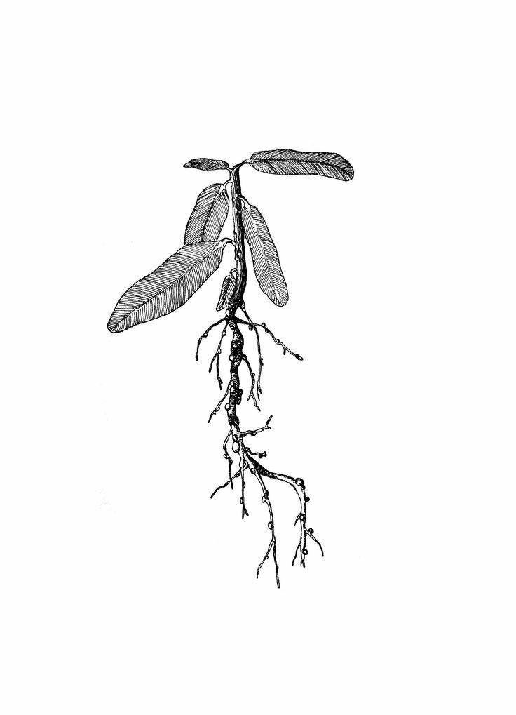 plantas, ilustración.