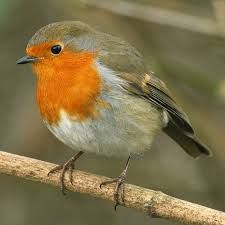 Mum feeds a robin everyday and it comes for cheese, sometimes it ventures inside the doorway!