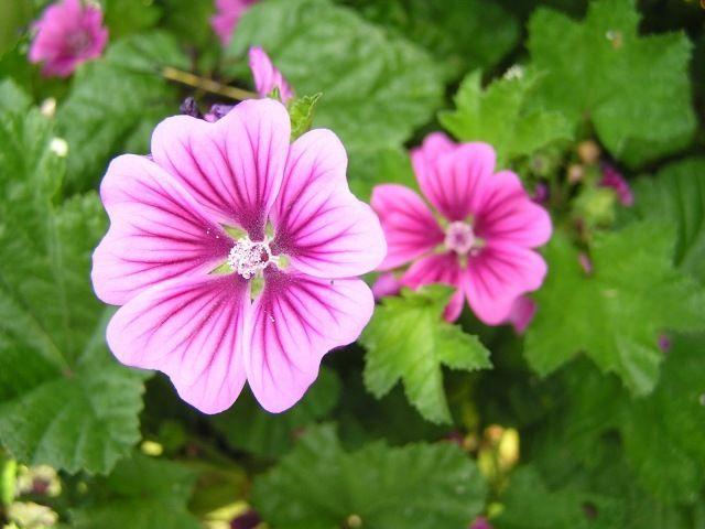Para Que Sirve La Malva Propiedades Y Beneficios De La Planta Medicinal Plantas Medicinales Plantas Hierbas Curativas