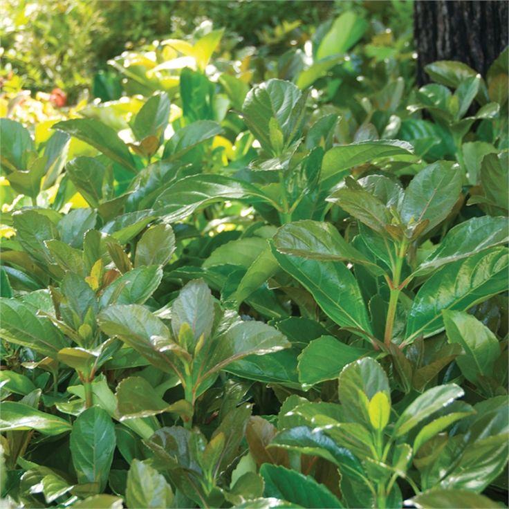200mm Viburnum Odoratissimum Emerald Lustre screening plant