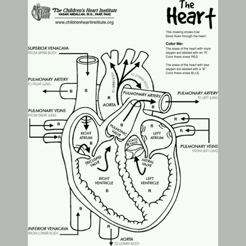 The flow chart of the heart