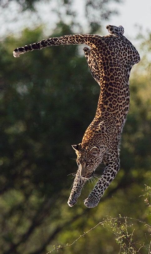 Mid leap. I don't need to describe their power with this picture. http://wildcatfund.org/