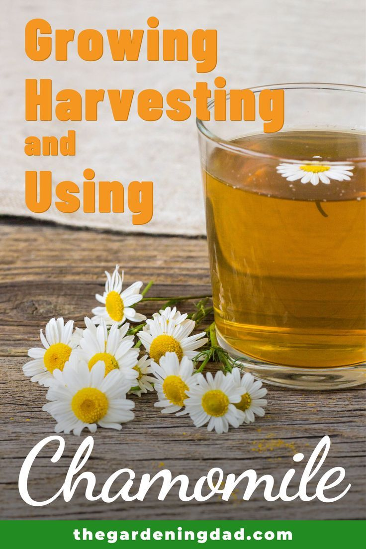 10 Easy Tips How To Grow Chamomile The Gardening Dad Chamomile Growing Chamomile Seeds Chamomile Plant
