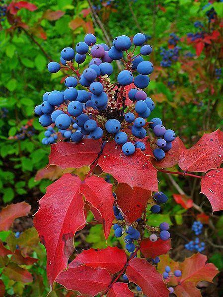 Scientific Name: Mahoniaaquifolium Common Name: Oregon Grape Zone: 4-8 Height: 3-6' Spread: 2-5'