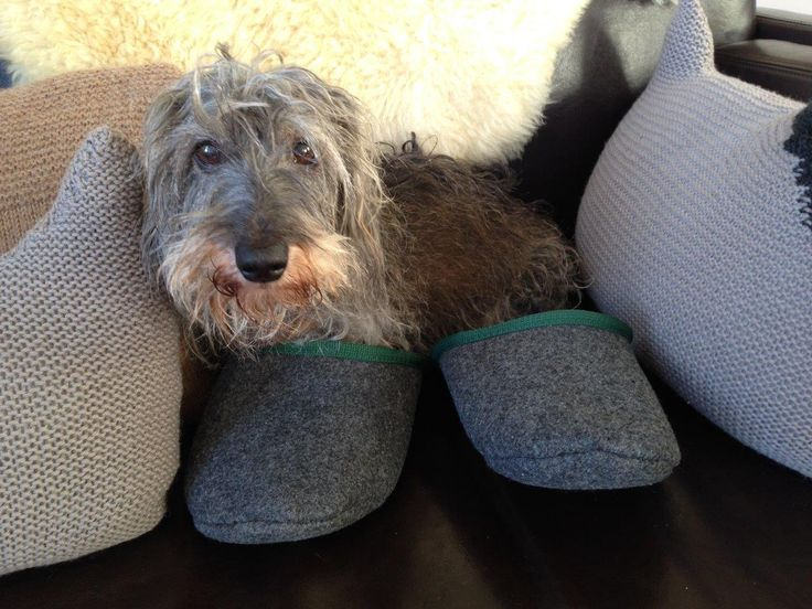 Buddy in a pair of Loose Goose Slippers