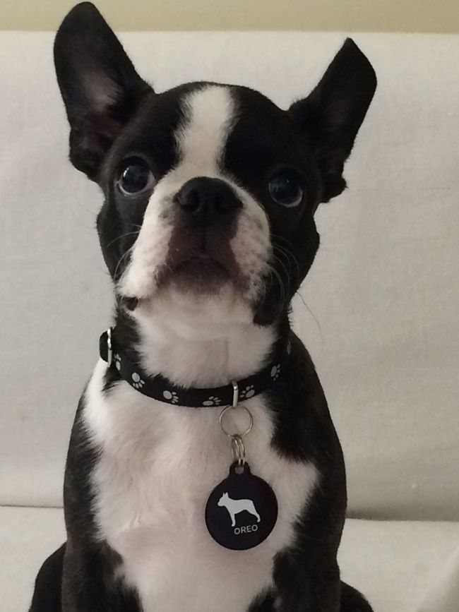 what does a boston terrier look like identification photo of a boston terrier dog named oreo 8765