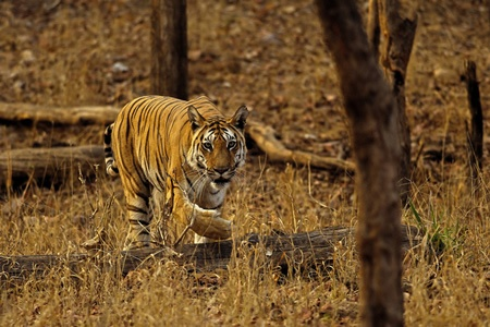 Royal bengal tiger in Central India ... Photo by Aditya Joshi ... @wti_org_india