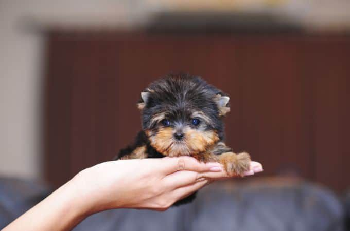 Teacup Puppies Are Cute Small As Well As Adorable And