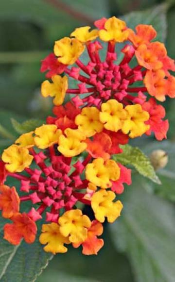 Wandelröschen (Lantana camara): hell oder dunkel bei 5 bis 20 °C; nicht unter 0 °C. Kräftiger Rückschnitt im Frühjahr vor dem neuen Austrieb. Im Winter nur mäßig gießen; Erde nicht austrocknen lassen. Pflanze verliert im Winter natürlicherweise einen Großteil ihrer Blätter. Ganzjährige Blüte nur bei heller Überwinterung.