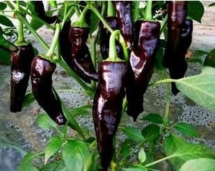 Organic Heirloom RARE 5 Chili Black Deep Purple Pepper Garden Indoor Vegetable Seeds F68