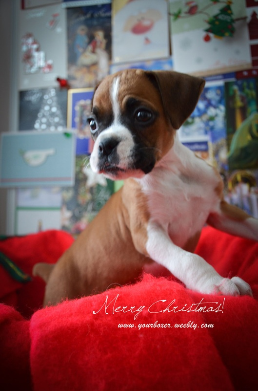 170 Best Boxer Puppies Images On Pinterest Boxer Dogs
