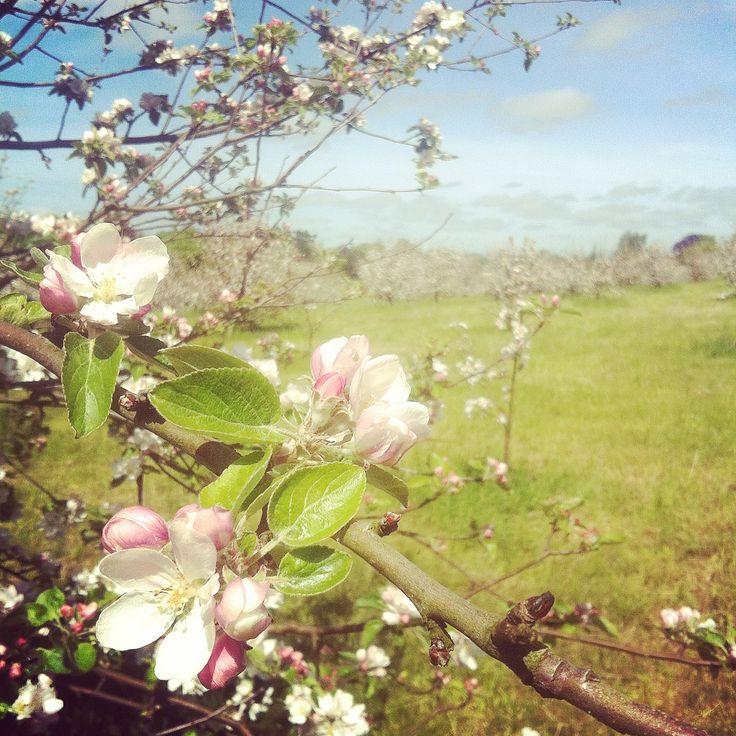 Æbleblomst - apple blossom