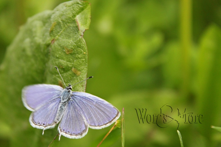 lavender butterfly  By Laura Kelsey - wordsmore.com