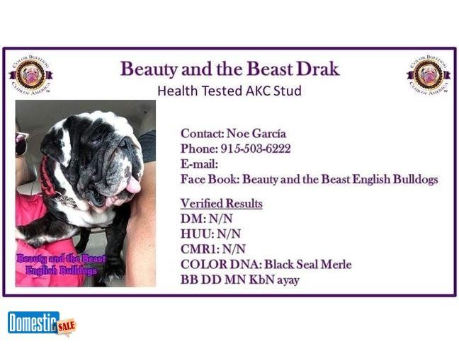 Studs Drak Black Seal Merle 1000 Sipping Warranty 2 Live Pups