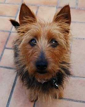 Australian Terrier Dogs  Australian Terrier Dog Breed Info & Pictures   petMD