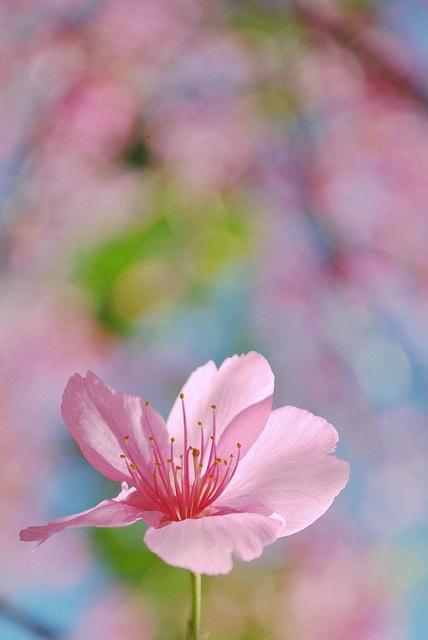 Sakura by Thiéle Elissa