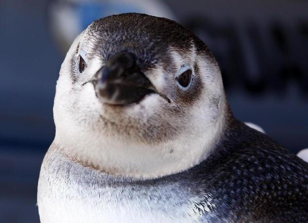 Memé  Pinguim aparece em Praia Grande (Foto: Davi Ribeiro/A Tribuna de Santos)