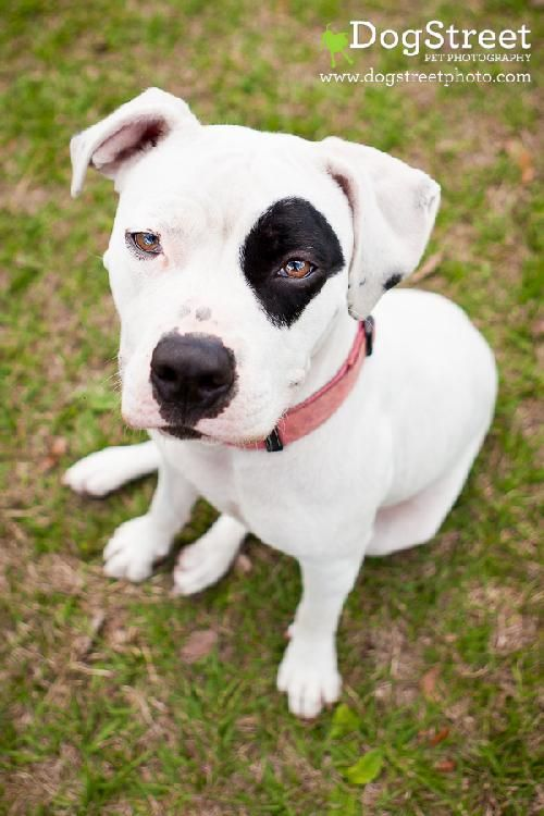 Cookie is an adoptable American Bulldog searching for a forever family near Sarasota, FL. Use Petfinder to find adoptable pets in your area.