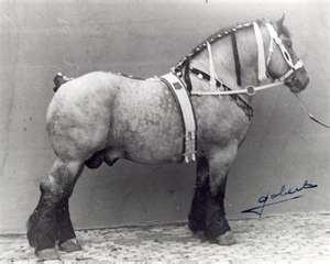 Belgian Draft Horse, Sable Island