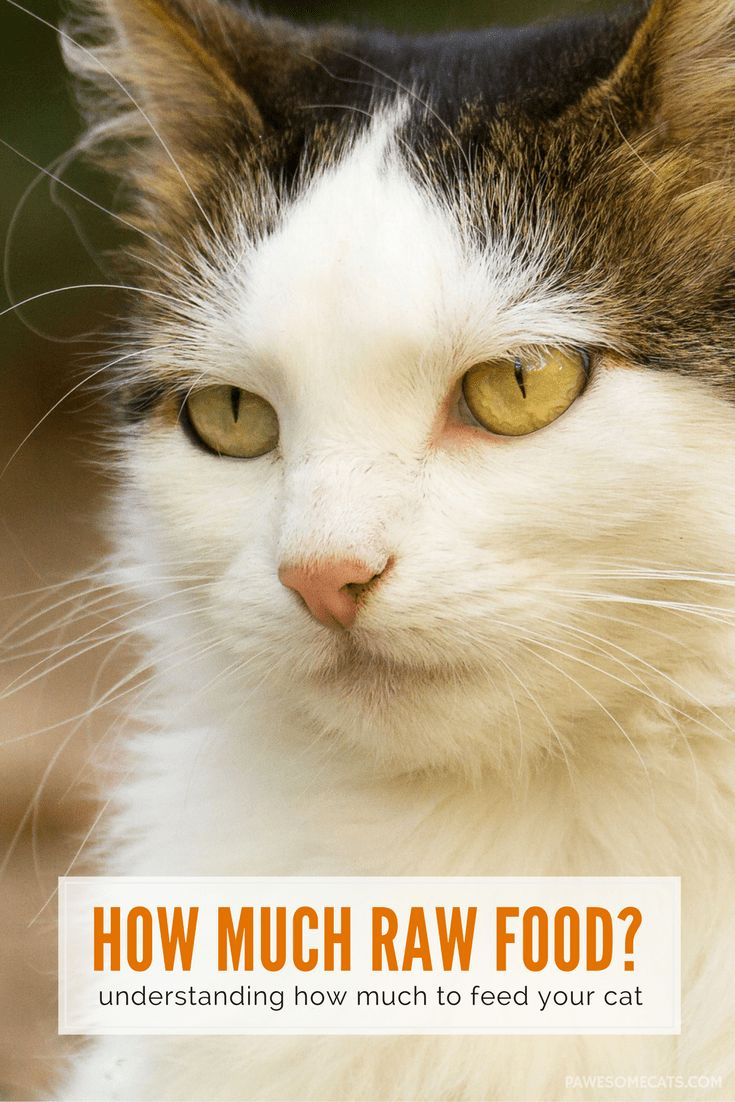 How much raw food to feed a cat check our cat feeding